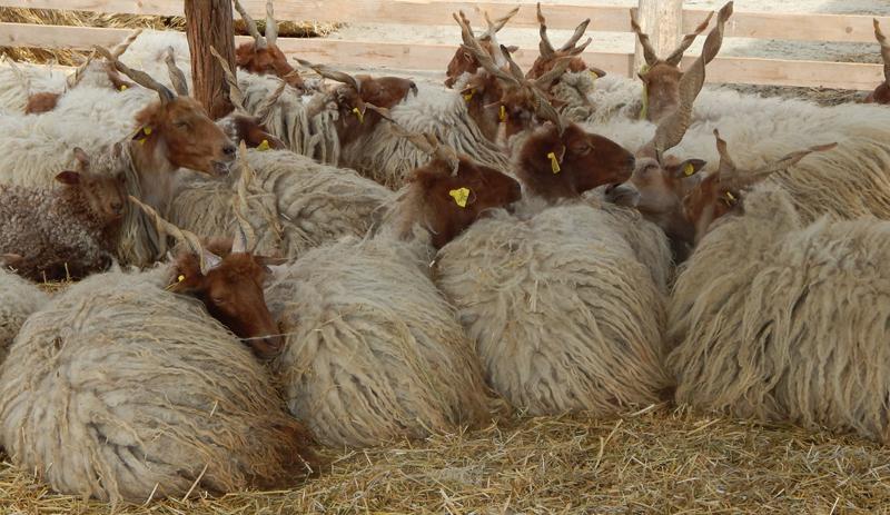 moutons ratzka