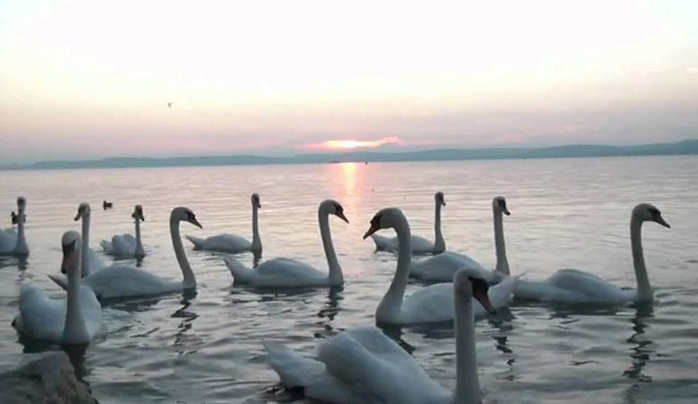 cygnes sur le lac